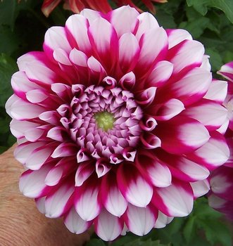 100x red white spot dahlia flower seeds beauty easy to grow home red white spot dahlia dahlias are colorful spiky flowers which generally bloom from midsummer to first frost when many other plants are past their best mightylinksfo